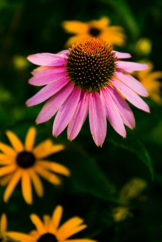 Purple coneflower, echinacea, and black eyed susan
