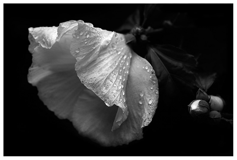 Black and white Hibiscus after a soaking rain.
