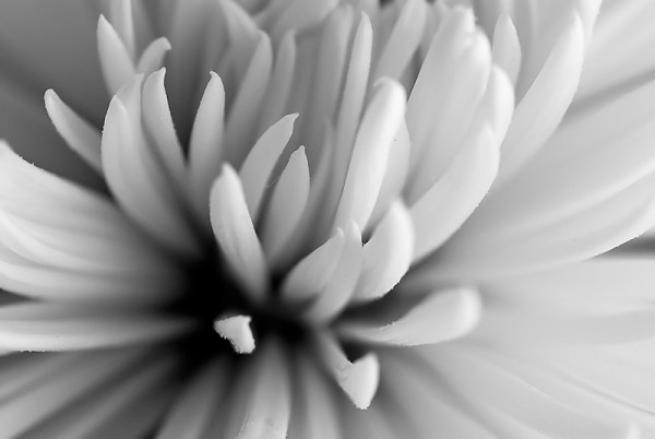 Black and white spider mum.
