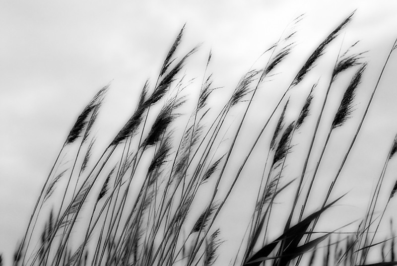 Sea Oats in the Wind