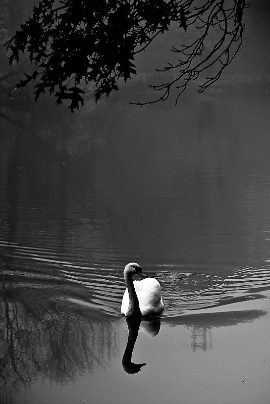 black and white swan on pond