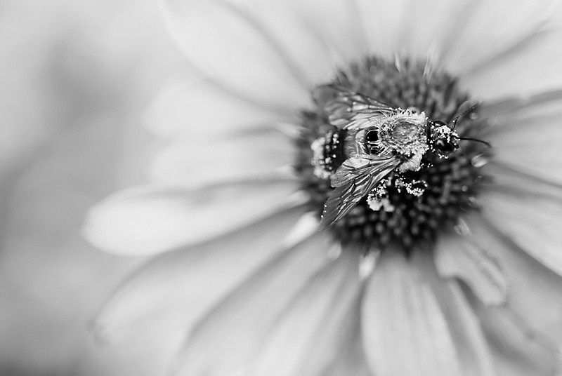 bw bee on coneflower