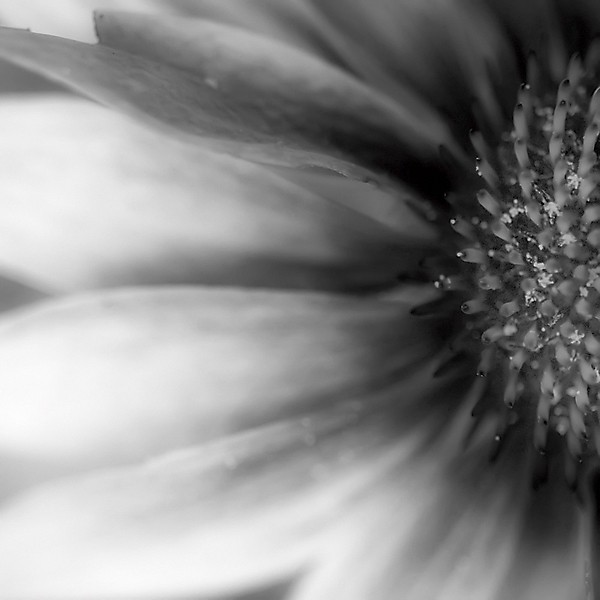 black and white coneflower detail