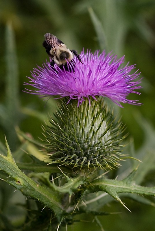 Bee on a Thistle in Palisades Interstate Park NJ