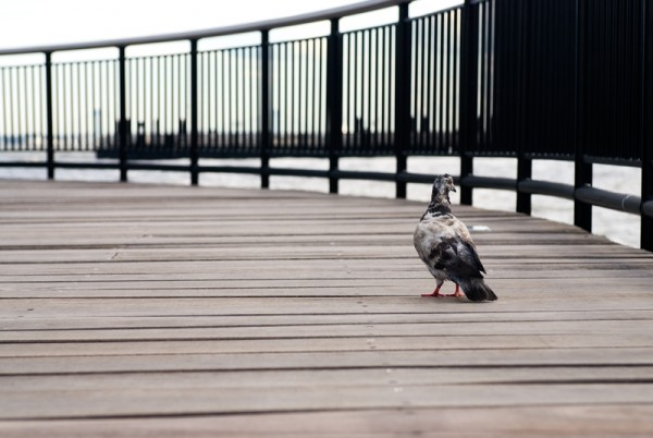 Pigeon on Jersey City waterfront pier