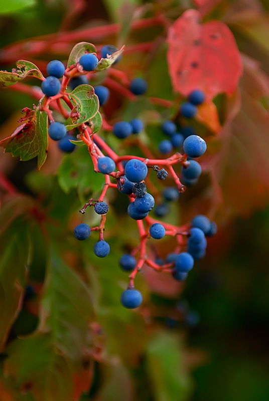 blue berries in Sandy Hook