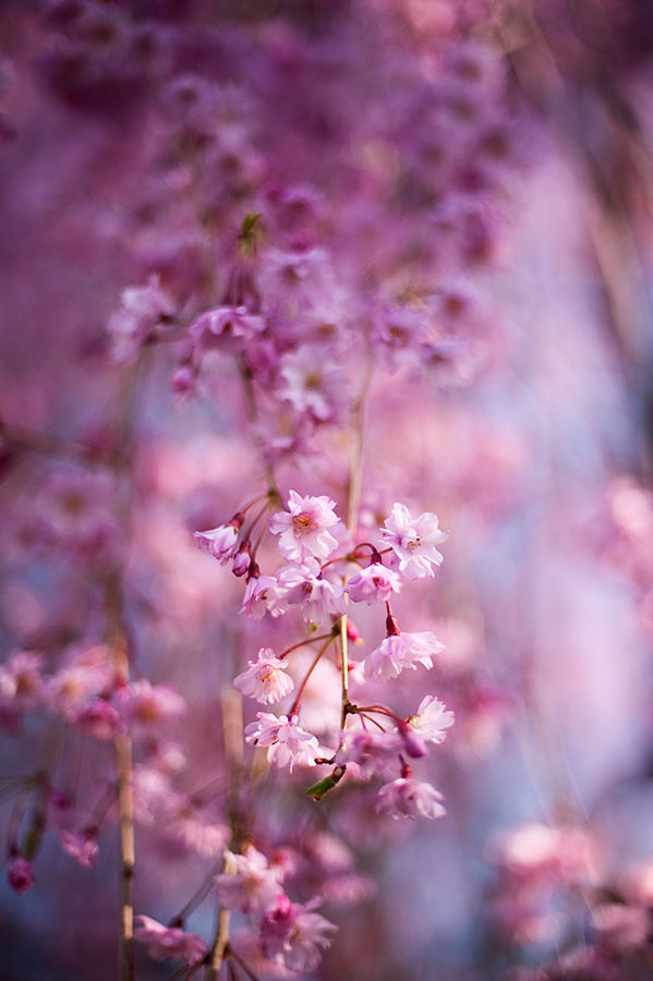Pink Weeping cherry in full bloom