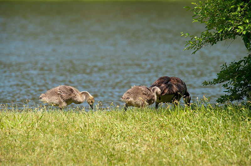 2 Goslings and mama goose in Delaware Water Gap