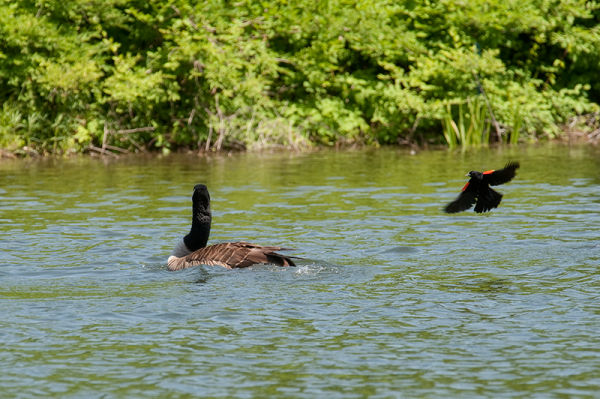 Red Winged blackbird attacking goose