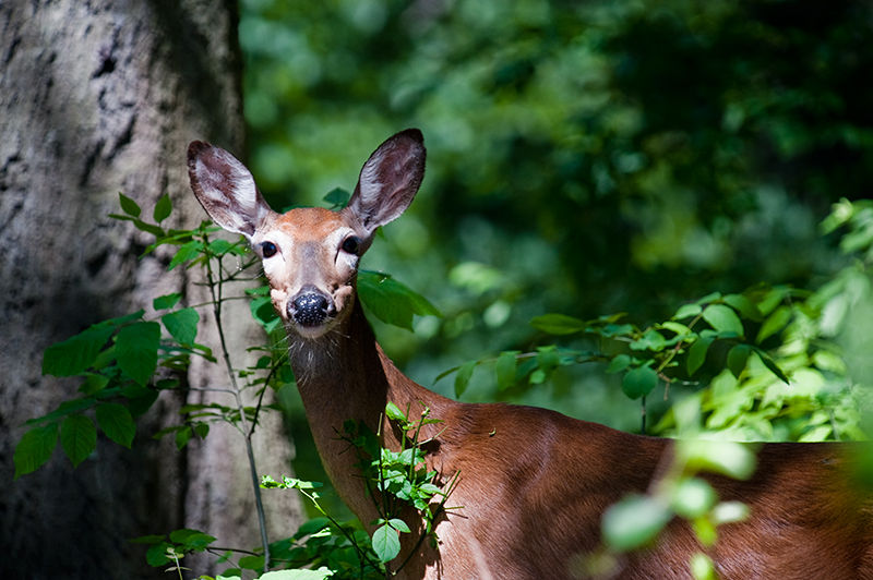 Doe in Mohawk Park
