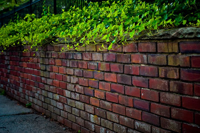 ivy covered brick wall in Westfield NJ