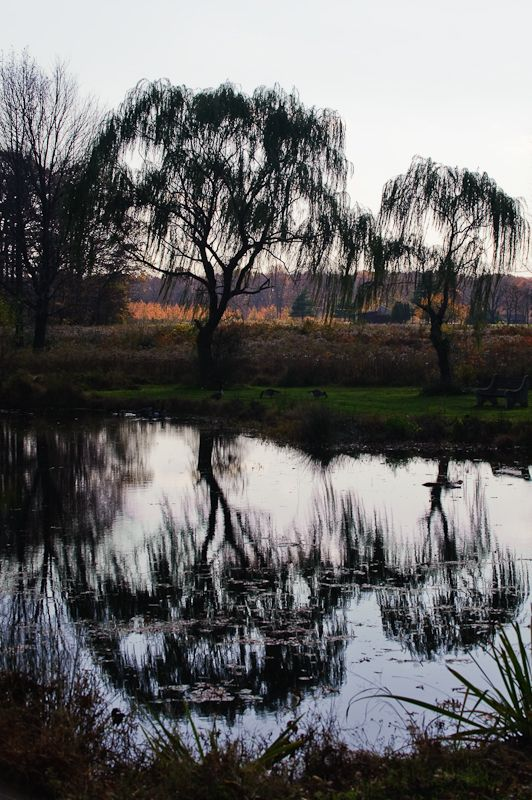Weeping willows at the Water's edge