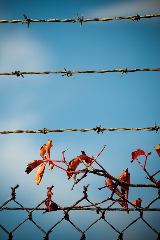 barbed wire and vines