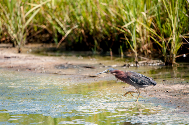 Green Heron Fishing in Cape Henlopen