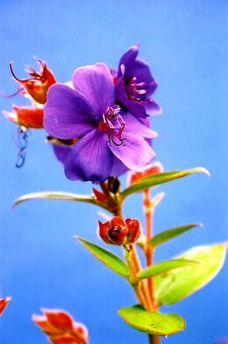 Purple or Blue?