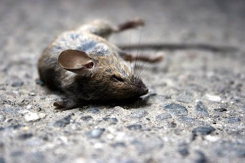 sleeping mousey