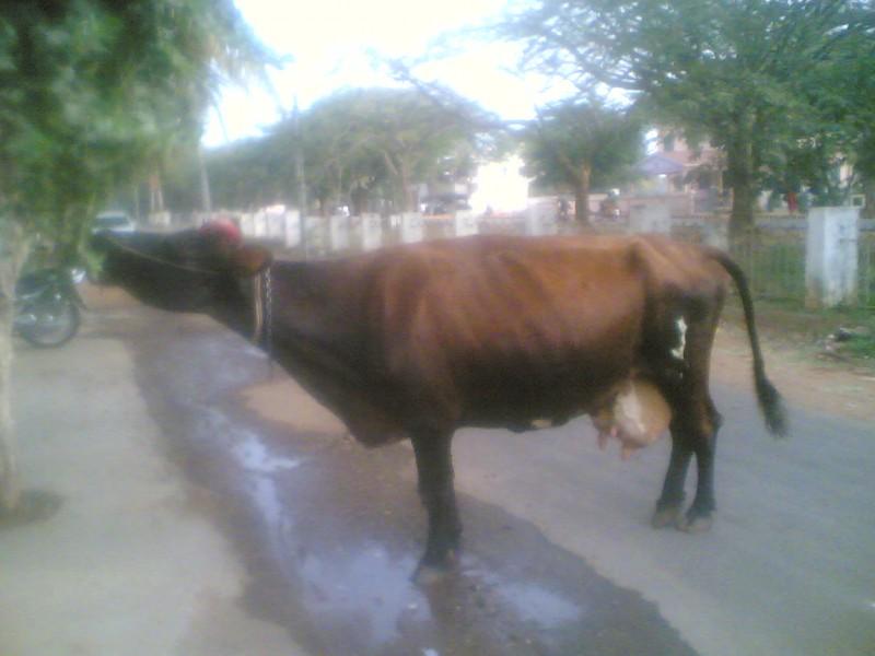 A COW....