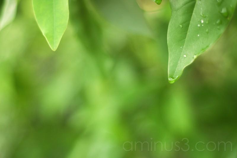 Morning Dew on a Leaf