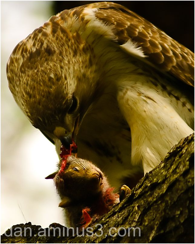 Red Tail Hawk Eating a Squirrel in Central Park, N