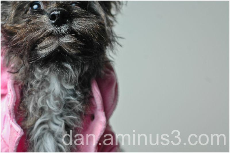 Sasha, The Pomeranian-Poodle