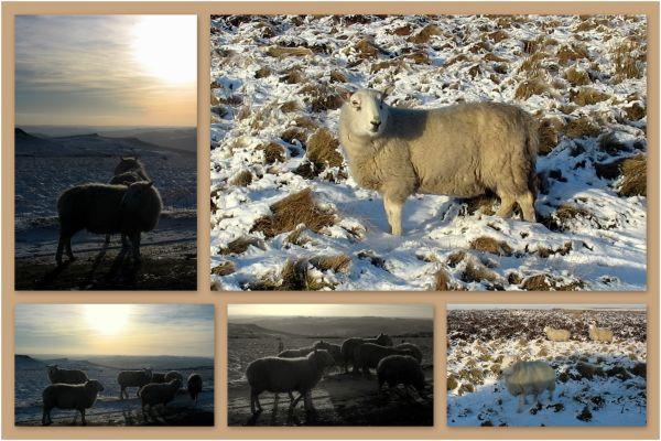 Looking sheepish..!