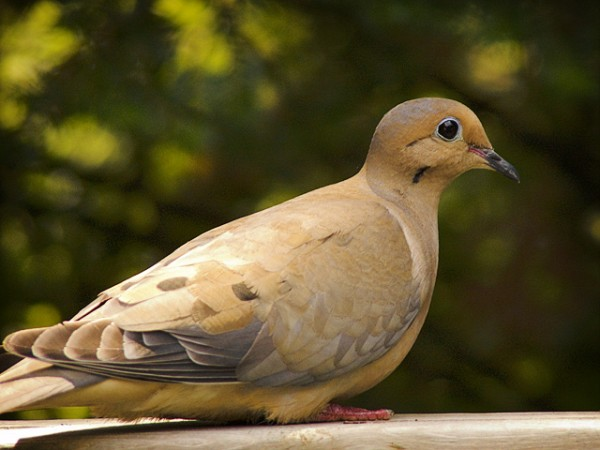 Tourterelle triste -- Mourning Dove