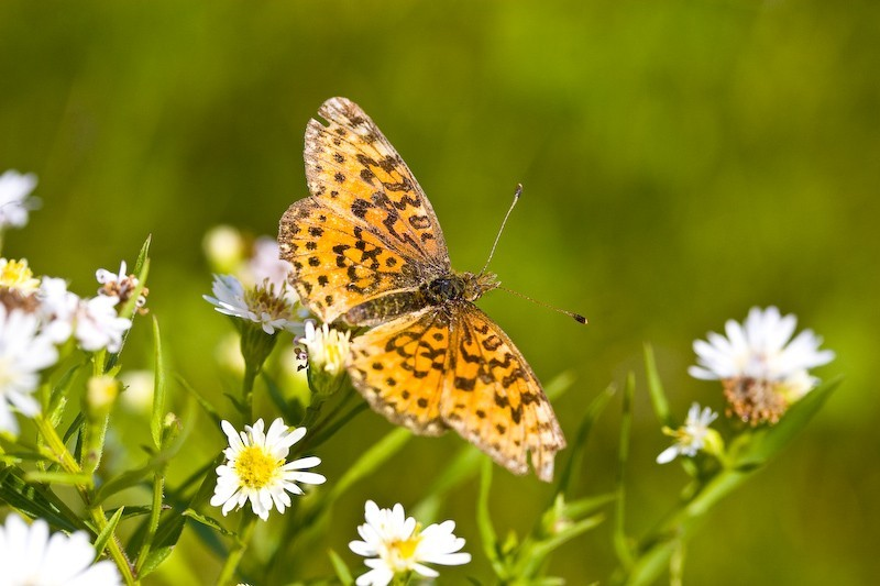 Papillon d
