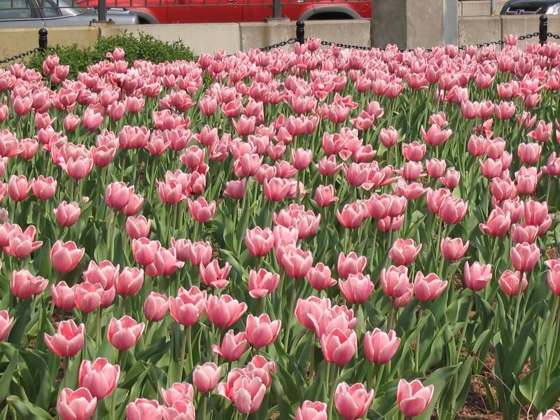 Too Many Tulips