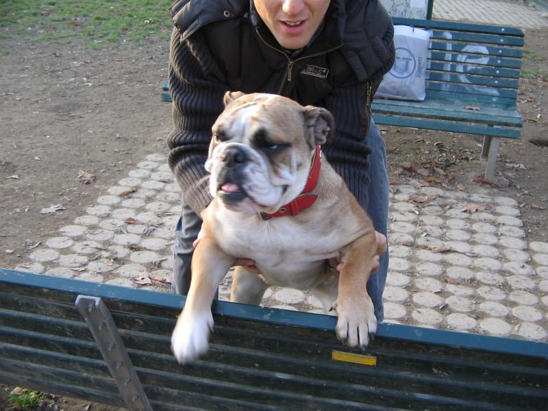 Bulldog terror of park