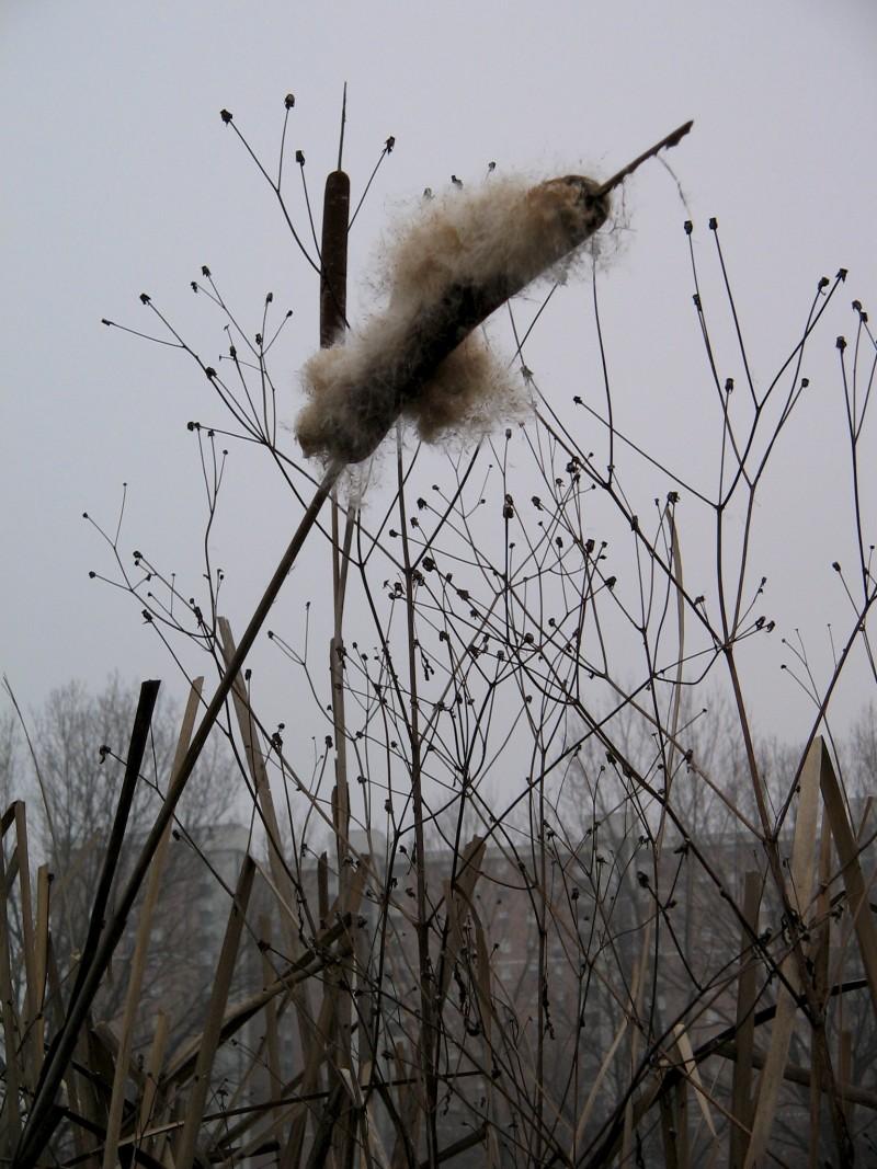 cat tails in a field