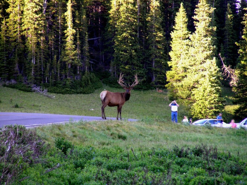 One large elk and one stupid man...