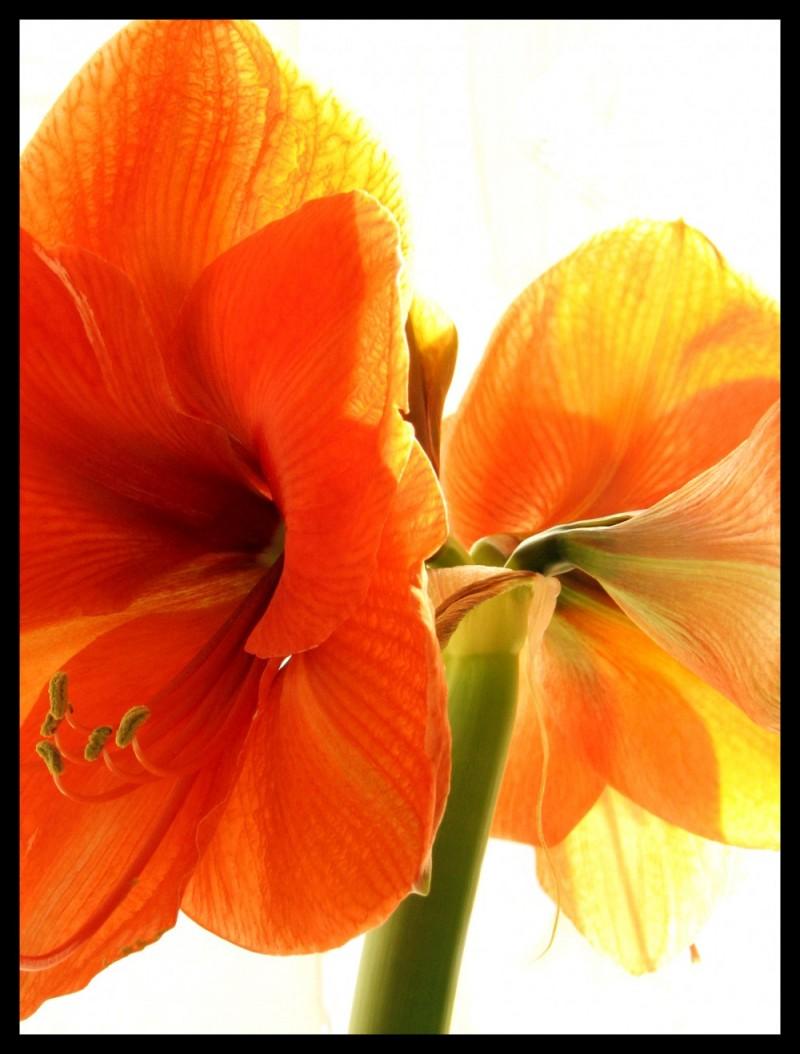 amaryllis rouge close up