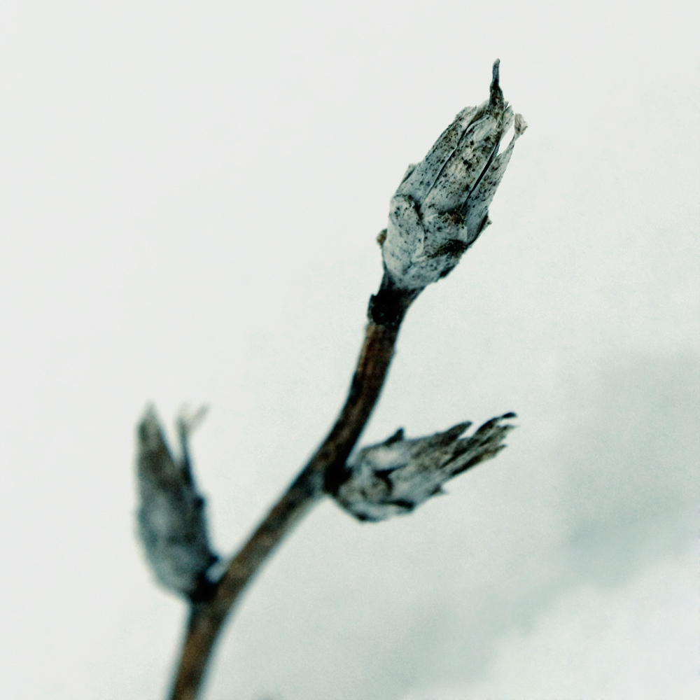 Dried plant in the snow
