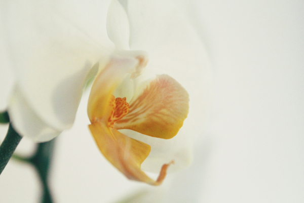 white orchid - noble
