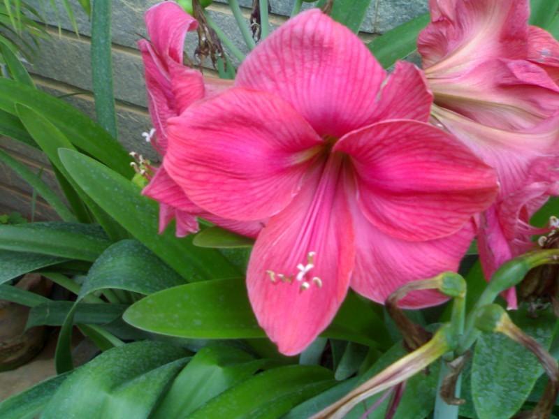 Gramaphone Lily