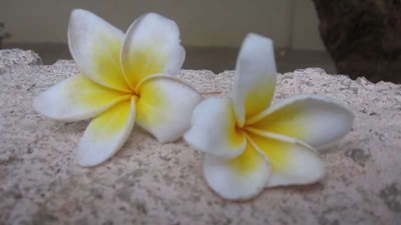 temple_flower.jpg