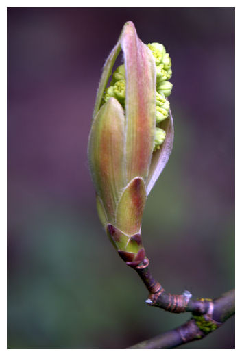 Big Leaf Maple Bud