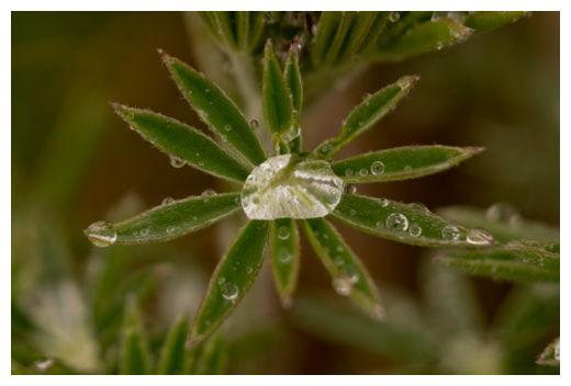 Lupine and Raindrop