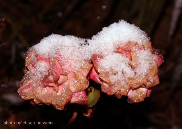 گل برف
