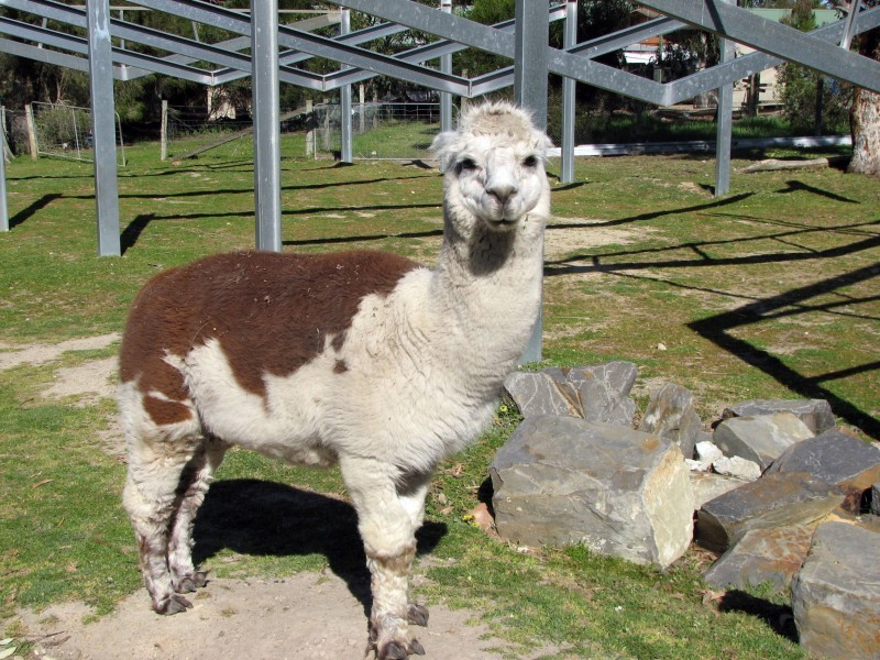 some Llama like animal