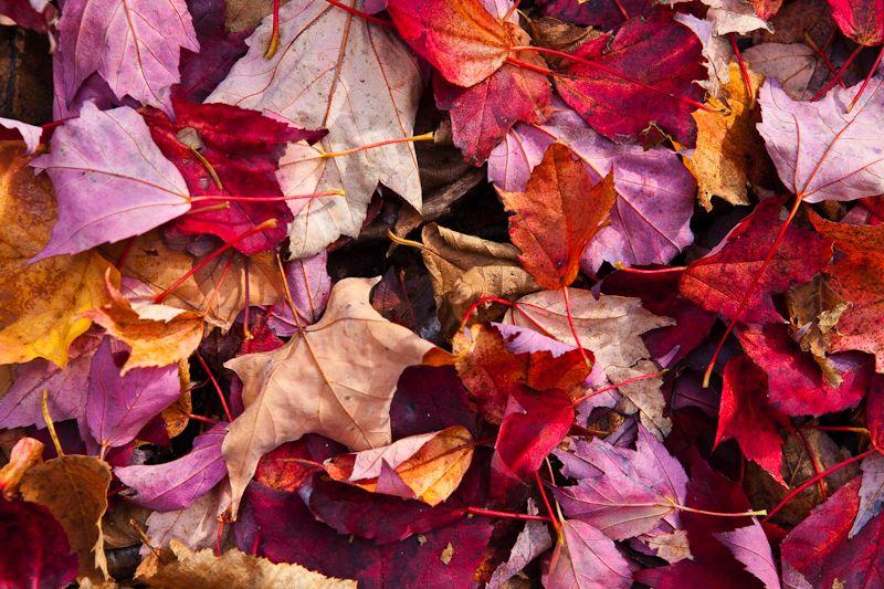 Fall Leaves on Mount Moosilauke