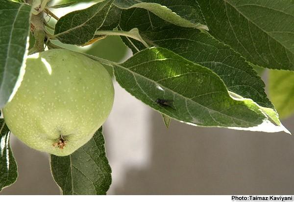 Apple & Leaf & Gnat