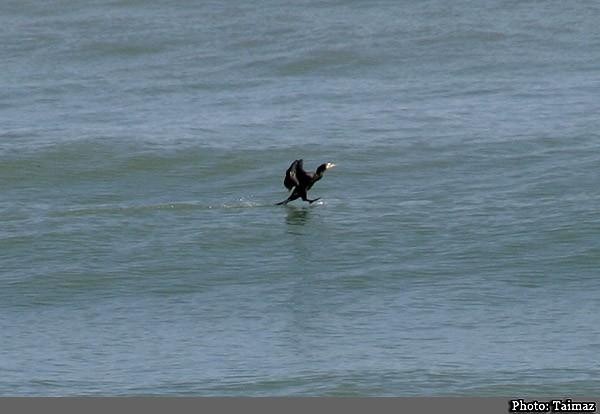 Pelikan in the Caspian Sea