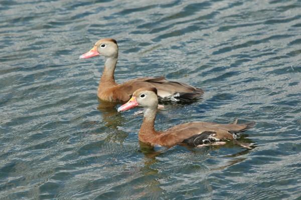 Gray ducks