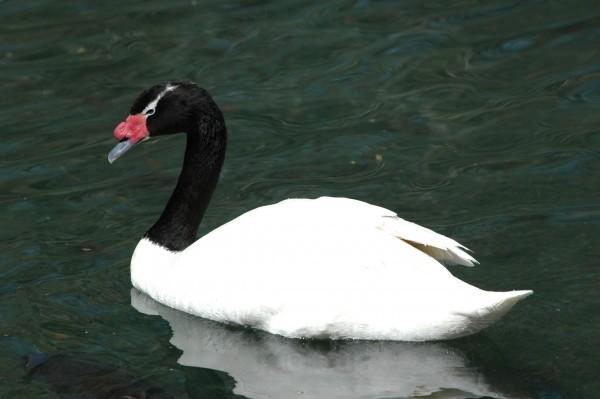 Goose at Zoo