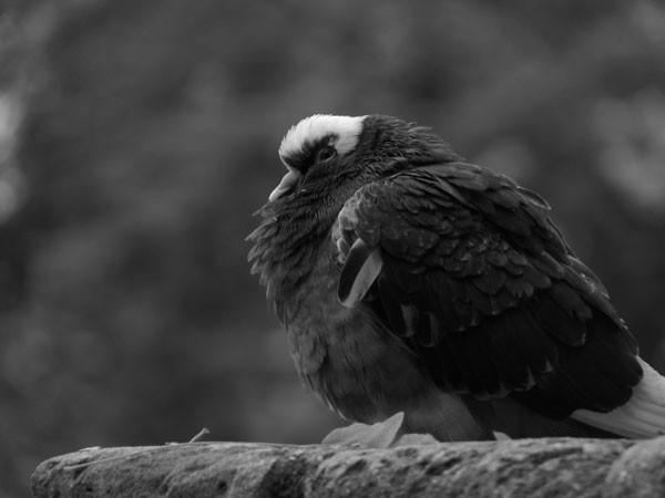 Gros pigeon!