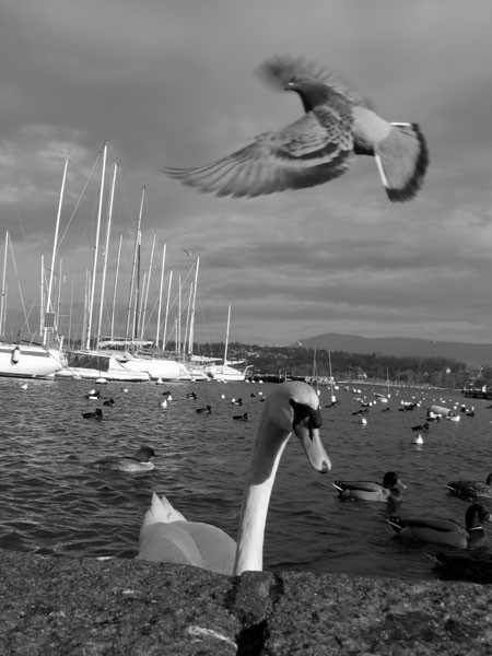 pigeon swan geneva lake