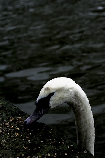 Swan Umbrella Sceaux