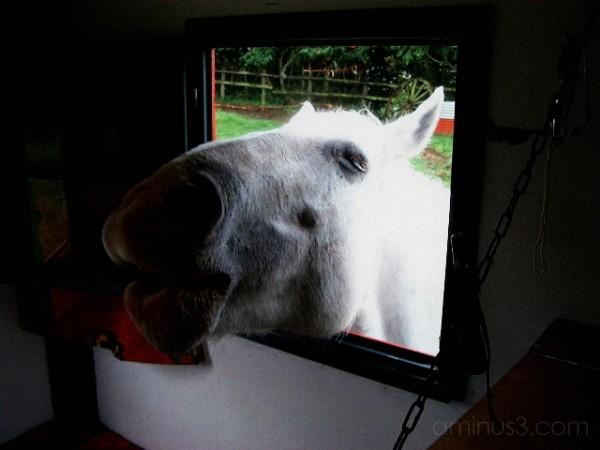 Picardie horse