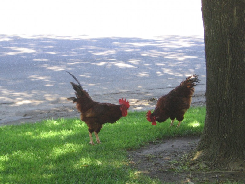 Roosters in Davis